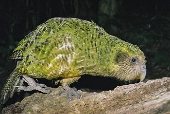 Name:  Kakapo.jpg Views: 85 Size:  75.6 KB