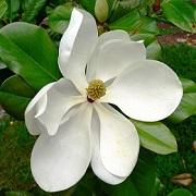 Name:  magnolia grandiflora.jpg Views: 62 Size:  24.2 KB