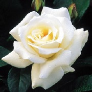 Name:  hybrid tea Pascali.jpg
